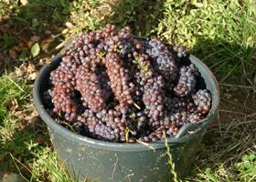 Vigne vendange raisin Domaines Schlumberger Alsace
