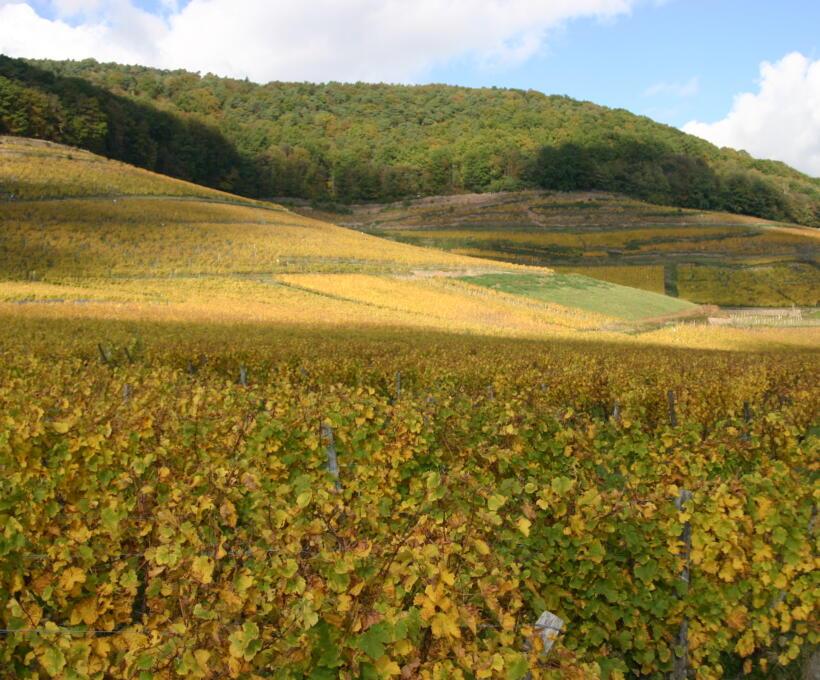 Vigne Grand Cru Kessler Domaines Schlumberger Alsace