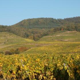 Vigne Grand Cru Kitterle Domaines Schlumberger Alsace