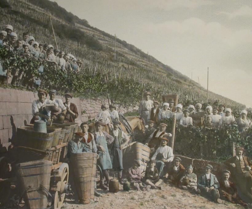 La culture des vignes