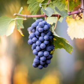 Vigne Pinot Noir
